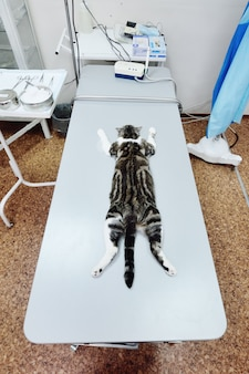 Cat on the operating table