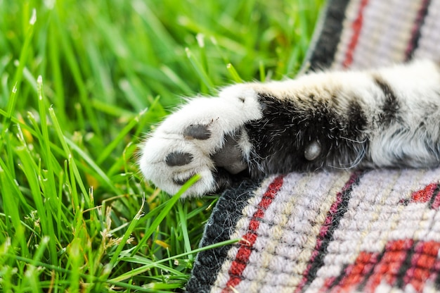 Кошачья лапа на зеленой траве