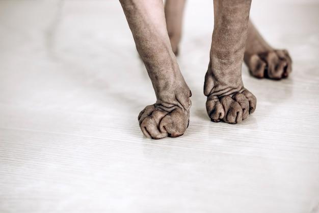 캐나다 스핑크스의 고양이 발. 털이 없는 저자극 고양이. 손 주름