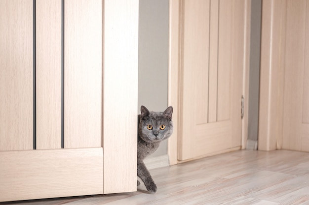 Cat peeks around the corner, beautiful gray british cat with yellow eyes