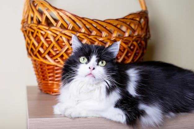 바구니의 벽에 고양이 페르시아 품종. 흑백 색상, 녹색 눈. 혼혈아. 확대.