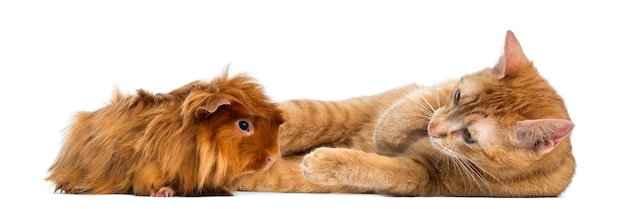 Cat and peruvian guinea pig isolated on white