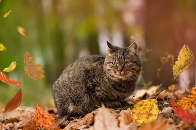 紅葉で遊ぶ猫。自然の色の葉のふわふわぶち猫。秋の葉の上に横たわっている縞模様のぶち猫。