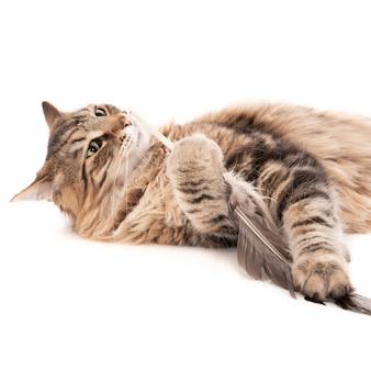 Кошка играет с птичьим пером, изолированным на белой поверхности