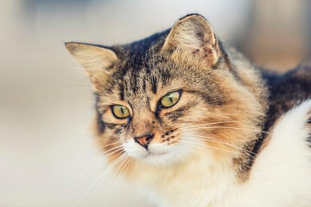 猫の肖像画をクローズアップ、頭のみ