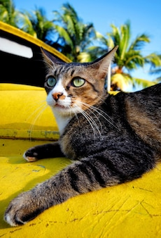 Cat relaxing on an old classic car on a tropical island