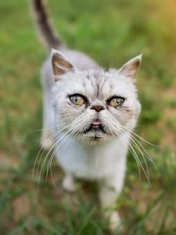 猫の頭のクローズアップ。エキゾチックショートヘアの品種