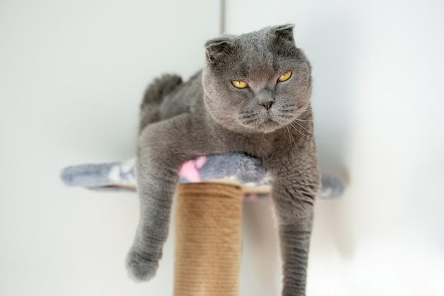 猫のスコティッシュフォールドは、太陽を楽しむことから目を閉じました。猫は、足をダウにぶら下げて、引っかき棒に面白く座っています。