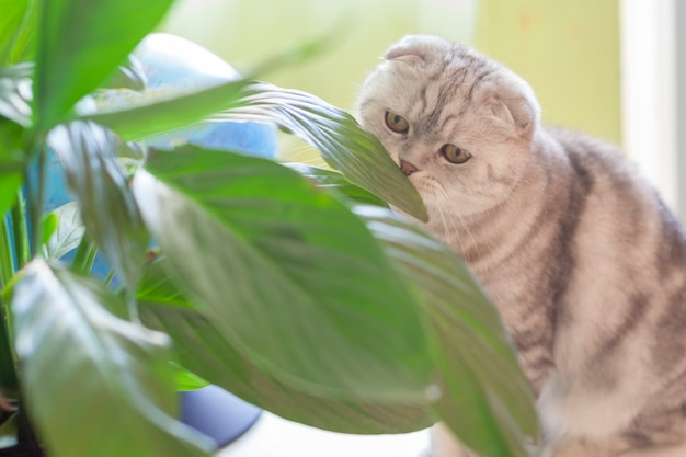 Cat scottish fold at home sitting on the table and sniffing home plants. pets, homeliness concept.
