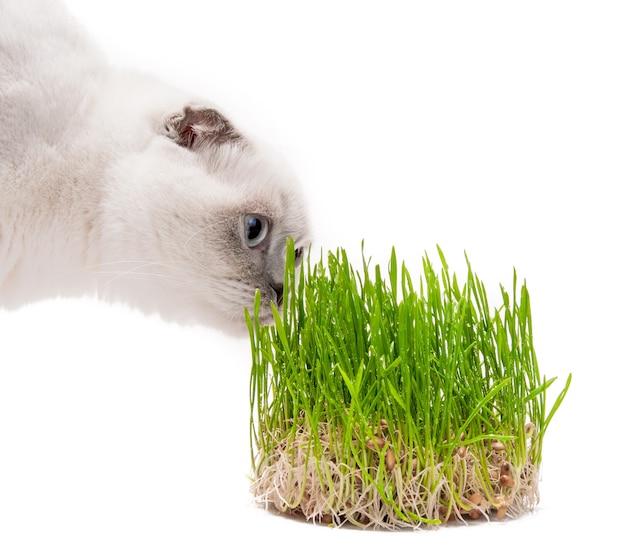 猫スコティッシュフォールド食べる草緑の芽、ビタミン、白で分離