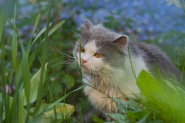 Cat sits in a summer  garden among blue forget-me-not flowers. forget-me-not flowers and cat in garden