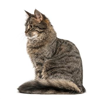 目をそらして座っている猫、白で隔離