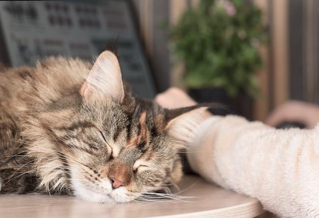 Cat sleeps on the table