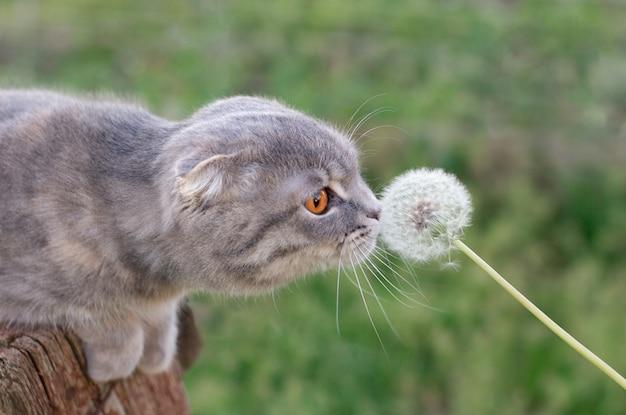 Кошка нюхает одуванчик в поле