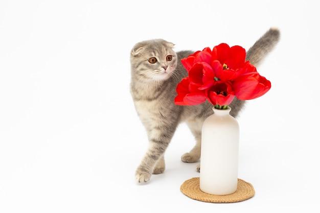 Кошка, пахнущая красными тюльпанами в вазе, изолированная на белом