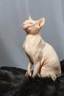 Cat of the sphynx breed sitting on black fur skin and looking at the left