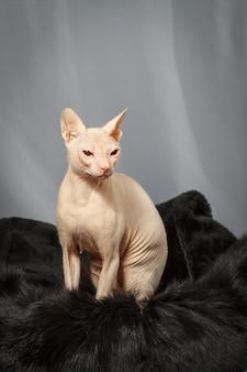 Cat of the sphynx breed sitting on black fur skin and looking to the right