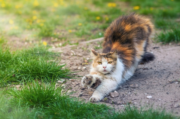 Cat stretches after sleep on a background of green grass