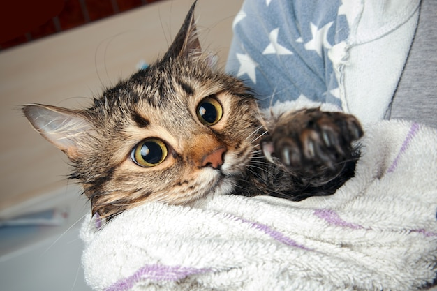 A cat in a towel after bathing looks with horror on a wet paw