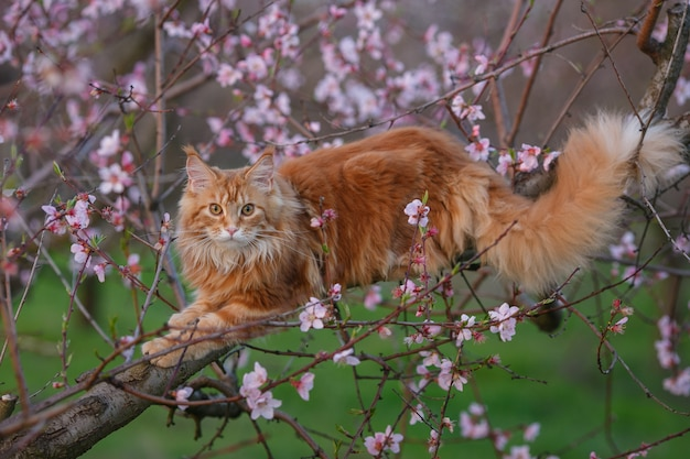 Cat on a tree.the fluffy red maine coon cat lies on a flowering branch of a peach tree.