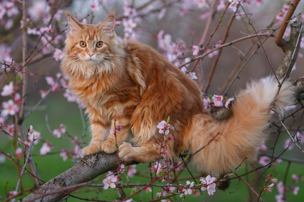 Cat on a tree.the fluffy red maine coon cat sitting on a flowering branch of a peach tree.