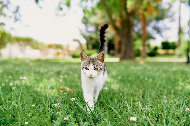 Cat walks on a green lawn against a background of trees