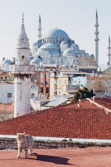 A cat walks on the roofs of istanbul