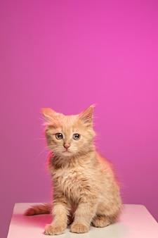 Il gatto su sfondo bianco