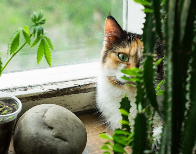 Cat on the windowsill, hemp plant and cactus