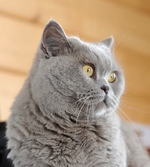Cat with big yellow eyes. persian cat.