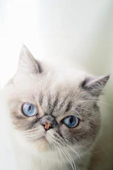 파란 눈을 가진 고양이