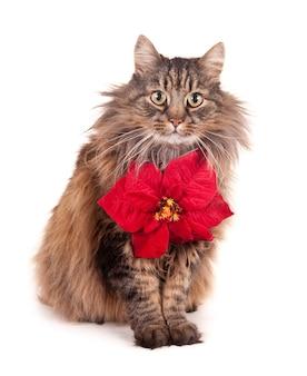 クリスマスの星の花と猫。白で隔離。