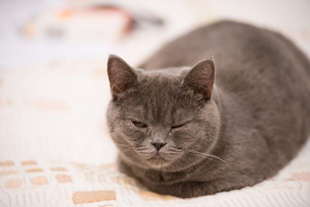 눈을 감고 있는 고양이. 브리티시 쇼트헤어 고양이는 덮개에서 휴식을 취합니다. 회색 코트와 귀여운 애완 동물입니다. 집에 있는 새끼 고양이. 휴식 시간. 휴식과 평화 개념입니다.