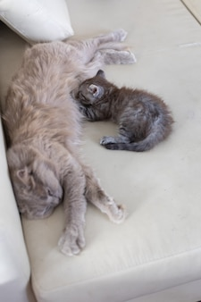 The cat with the kitten lie on the couch. the cat feeds the kitten with her milk.