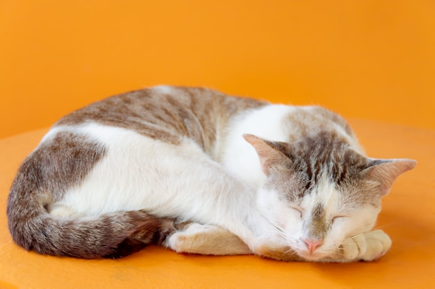 Cat with a light brown color are sleeping with orange background