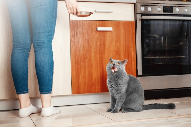 Cat with owner in kitchen asks to eat, hungry cat, hand close-up of bowl of food, beautiful british cat