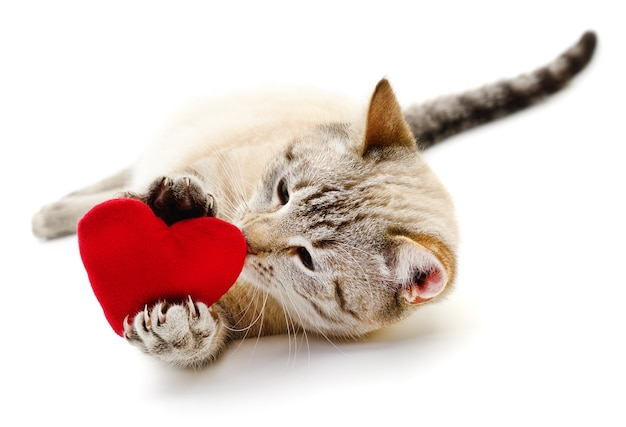 Cat with red valentine`s  heart on white.