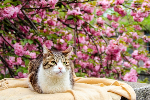 A cat with the sakura or cherry bossom background in park tokyo of japan