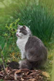 舌が突き出た猫。彼の顔をなめる庭の猫。草の中の若い猫