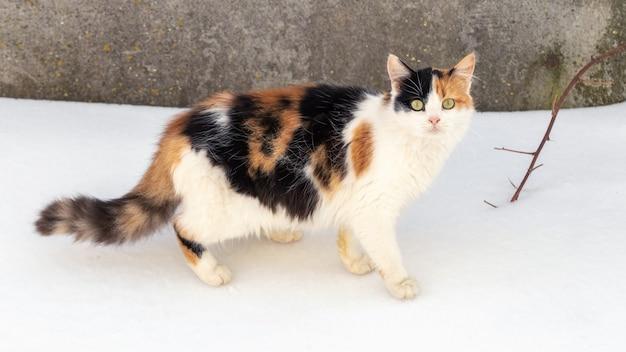 雪の中で冬に白、黒、茶色の毛皮を持つ猫