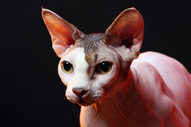 Cat without hair