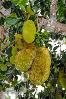 木にぶら下がっているカタドゥパジャマイカジャックフルーツの木