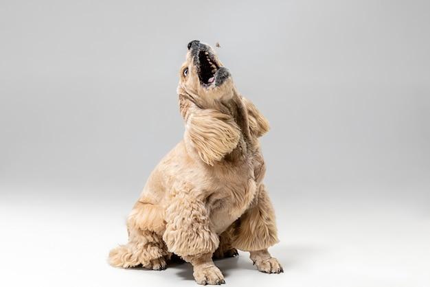 それをキャッチします。動いているアメリカのスパニエルの子犬。かわいい手入れの行き届いたふわふわの犬やペットは、灰色の背景に孤立して遊んでいます。スタジオ写真撮影。テキストまたは画像を挿入するための負のスペース。