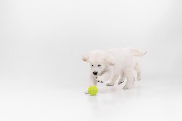 キャッチ。イングリッシュクリームゴールデンレトリバーの演奏。かわいい遊び心のある犬や純血種のペットは、白い背景で隔離されてかわいいように見えます。