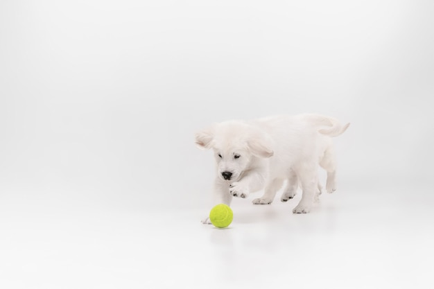 Catching. english cream golden retriever playing. cute playful doggy or purebred pet looks cute isolated on white background.