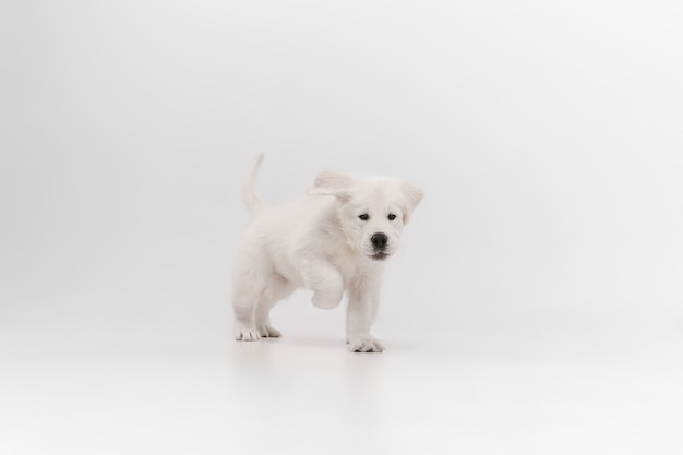 Catching. english cream golden retriever playing. cute playful doggy or purebred pet looks cute isolated on white wall. concept of motion, action, movement, dogs and pets love. copyspace.