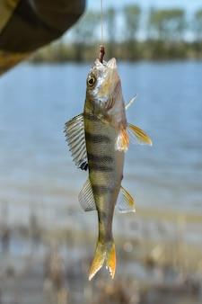 강 물고기 잡기. 낚싯줄에 매달린 물고기를 잡았습니다. 갈고리에 걸린 민물 농어
