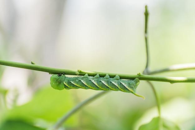 Гусеница, большой зеленый червь