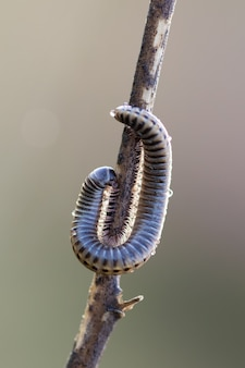 Caterpillar in a branch with blurred background close up