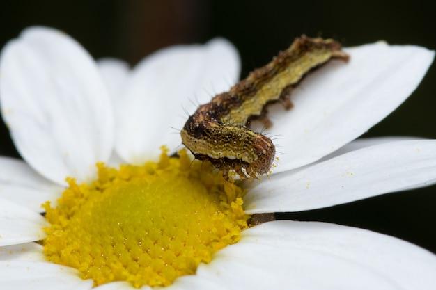 숲의 아름다운 데이지 꽃에서 꿀을 먹고 있는 애벌레